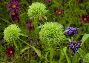 Dianthus Green Ball