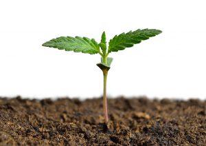 Hemp Seedling